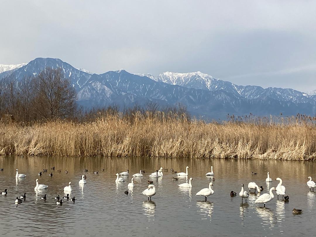 白鳥の飛来地をみてきました