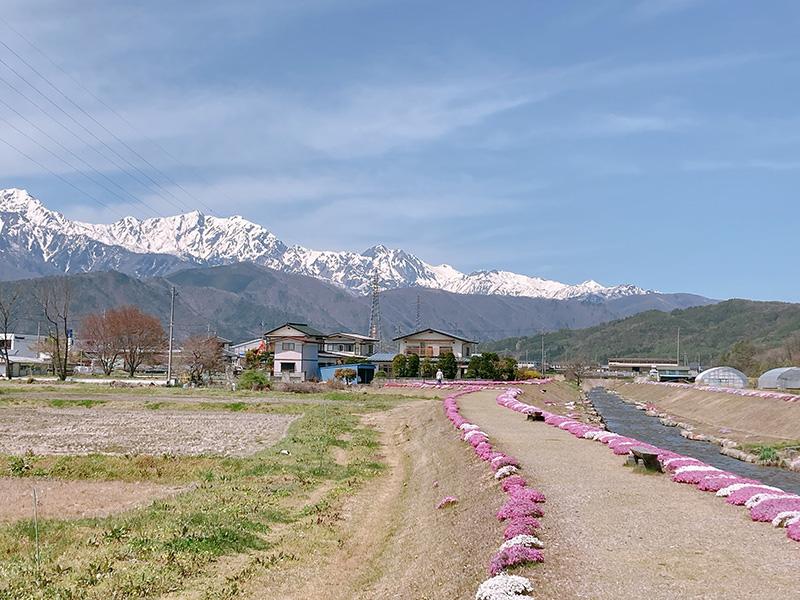 大町市農具川河川公園の芝桜と木崎湖のさびねこ