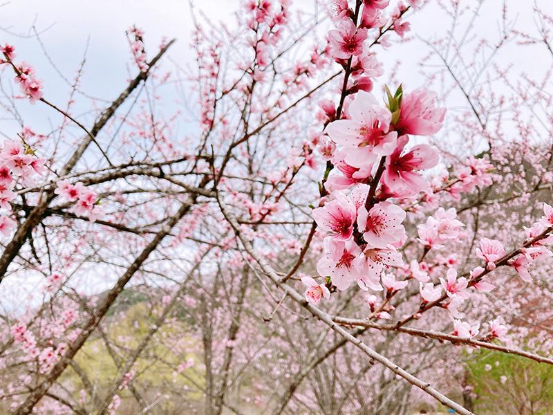 白馬村大出公園の桜を見に行ってきました